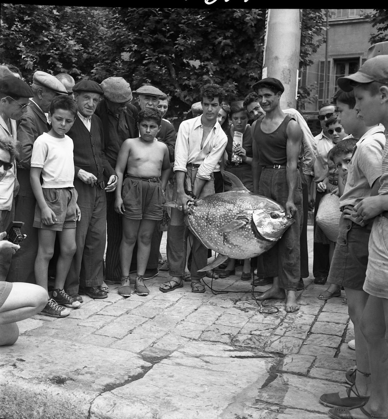 42Fi 0044 « Attraction sur le port suite à la pêche d'un gros poisson lune. Cette pièce ne pesait pas moins de 40 kilos et mesurait plus de un mètre de long. Elle a fait l'admiration des curieux ». (Le Provençal) 9/07/1953